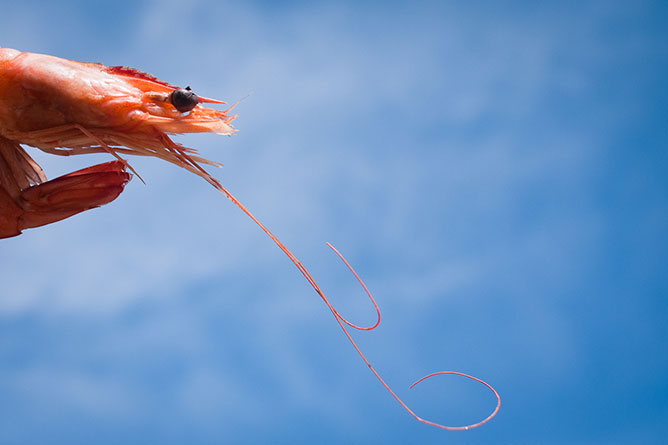 crevette-honnete photo Didier Laget